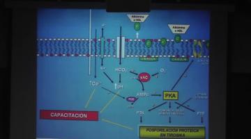 Bioquímica Clínica 2017, 29 de Agosto. Citología. Tracto Genital Masculino.